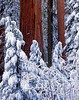 Early morning snow, giant Sequoia
