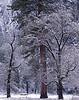 New snow, morning. Oaks and ponderosa