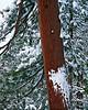 Snow-laden ponderosa